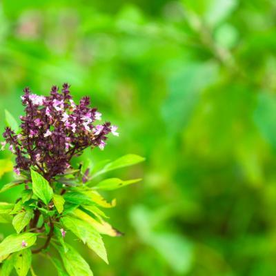 Dikenal Sebagai Raja Herbal, Holy Herb Efektif Rawat Kulit Saat Tidur