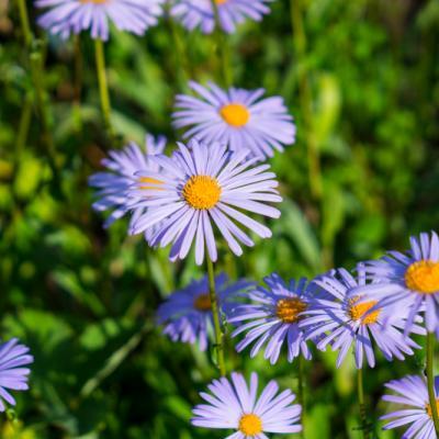 Manfaat Luar Biasa Si Cantik Blue Daisy untuk Kulit Sensitifmu