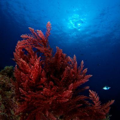 5 Manfaat Astaxanthin Dari Ganggang Merah Untuk Kulit Cantikmu