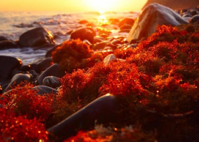 Mengenal Astaxanthin, Si Super Antioksidan Dari Ganggang Merah